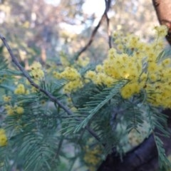 Acacia dealbata (Silver Wattle) at Red Hill Nature Reserve - 5 Sep 2020 by JackyF