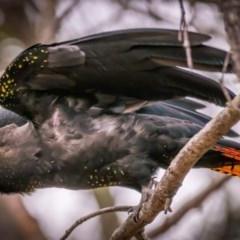 Calyptorhynchus lathami (Glossy Black-cockatoo) at Tura Beach, NSW - 13 Sep 2020 by peterharris