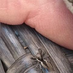Jotus sp. (genus) (Unidentified Jotus Jumping Spider) at Greenleigh, NSW - 29 Aug 2020 by LyndalT