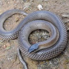 Parasuta dwyeri (Dwyer's Black-headed Snake) at Goorooyarroo - 5 Sep 2020 by BrianHerps
