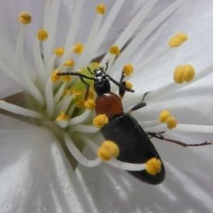 Pemanoa sp. (genus) at Kambah, ACT - 17 Sep 2020