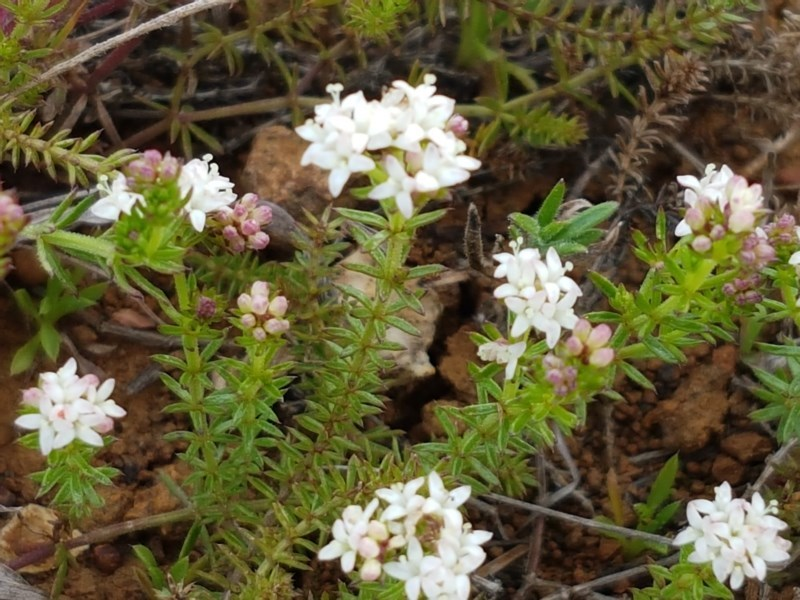 Asperula conferta at Crace Grasslands - 17 Sep 2020