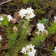 Asperula conferta (Common Woodruff) at Crace Grasslands - 17 Sep 2020 by tpreston