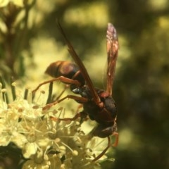 Polistes (Polistella) humilis (Common Paper Wasp) at ANBG - 17 Sep 2020 by PeterA