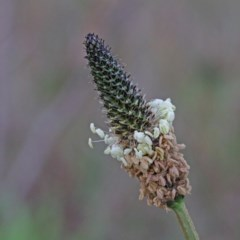 Plantago lanceolata (Ribwort Plantain) at Dryandra St Woodland - 17 Sep 2020 by ConBoekel