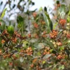 Dodonaea viscosa (Hop Bush) at Hughes Grassy Woodland - 17 Sep 2020 by JackyF