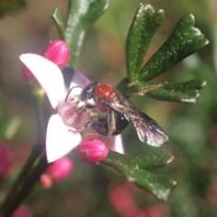 Lasioglossum (Callalictus) callomelittinum (Halictid bee) at Acton, ACT - 17 Sep 2020 by PeterA