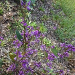 Hardenbergia violacea (False Sarsaparilla) at Hughes Grassy Woodland - 17 Sep 2020 by JackyF
