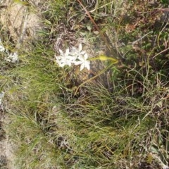 Wurmbea dioica subsp. dioica (Early Nancy) at Kowen, ACT - 17 Sep 2020 by jamesjonklaas