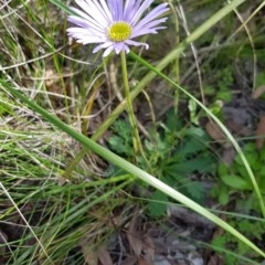 Brachyscome spathulata (TBC) at Point 5438 - 17 Sep 2020 by ClubFED