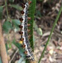 Aglaosoma variegata (A Prominent moth) at Wattamolla, NSW - 16 Sep 2020 by WattaWanderer