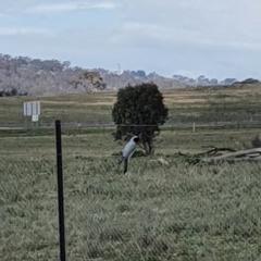 Coracina novaehollandiae (Black-faced Cuckooshrike) at Queanbeyan Nature Reserve - 16 Sep 2020 by Speedsta