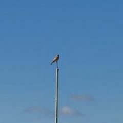 Falco cenchroides (Nankeen Kestrel) at Queanbeyan Nature Reserve - 14 Sep 2020 by Speedsta