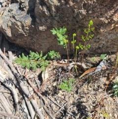 Cheilanthes sieberi (Rock fern) at Queanbeyan East, NSW - 6 Sep 2020 by Speedsta