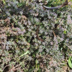 Astroloma humifusum (Cranberry heath) at Karabar, NSW - 6 Sep 2020 by Speedsta