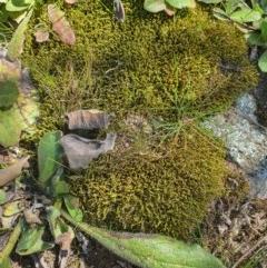 Unidentified Moss, Lichen, Liverwort, etc (TBC) at Karabar, NSW - 6 Sep 2020 by Speedsta