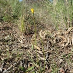 Microseris walteri (Murnong, Yam Daisy) at Mount Painter - 15 Sep 2020 by CathB