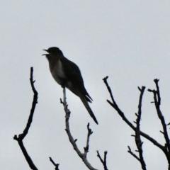 Cacomantis flabelliformis (Fan-tailed Cuckoo) at Aranda, ACT - 17 Sep 2020 by KMcCue