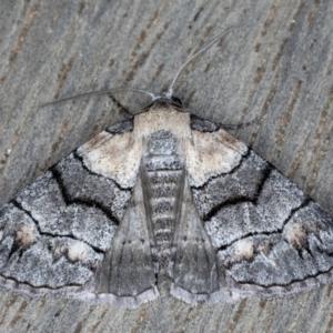 Dysbatus singularis at Ainslie, ACT - 17 Sep 2020