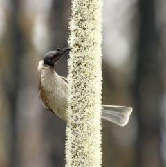 Philemon corniculatus (Noisy Friarbird) at Morton National Park - 17 Sep 2020 by Snowflake