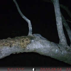 Petaurus breviceps (Sugar Glider) at Rob Roy Range - 17 Sep 2020 by ChrisHolder
