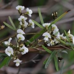 Glycine clandestina (Twining glycine) at Dryandra St Woodland - 18 Sep 2020 by ConBoekel
