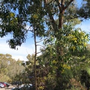 Acacia pycnantha at ANBG - 16 Sep 2020