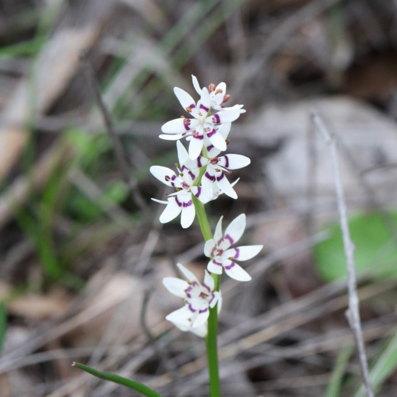 Wurmbea dioica subsp. dioica at Dryandra St Woodland - 18 Sep 2020