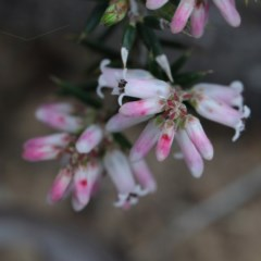 Lissanthe strigosa subsp. subulata (Peach Heath) at Dryandra St Woodland - 18 Sep 2020 by ConBoekel