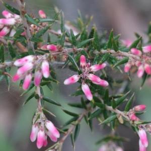 Lissanthe strigosa subsp. subulata at Dryandra St Woodland - 18 Sep 2020