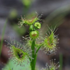Drosera sp. at Dryandra St Woodland - 18 Sep 2020 by ConBoekel