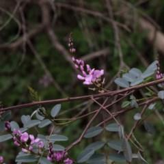 Indigofera australis subsp. australis (Australian Indigo) at Dryandra St Woodland - 17 Sep 2020 by ConBoekel