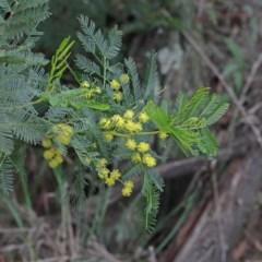Acacia sp. (Wattle) at Dryandra St Woodland - 17 Sep 2020 by ConBoekel