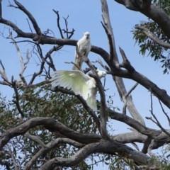 Cacatua galerita (Sulphur-crested Cockatoo) at Mount Mugga Mugga - 16 Sep 2020 by Mike