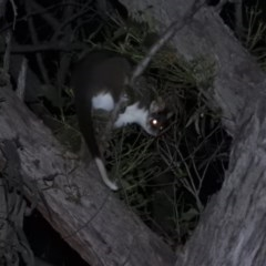 Pseudocheirus peregrinus (Common Ringtail Possum) at Molonglo Gorge - 18 Sep 2020 by RyuCallaway