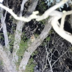 Trichosurus vulpecula (Common Brushtail Possum) at Molonglo Gorge - 18 Sep 2020 by RyuCallaway