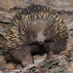 Tachyglossus aculeatus (Short-beaked Echidna) at ANBG - 18 Sep 2020 by Tim L