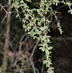 Coprosma quadrifida (Prickly Currant Bush, Native Currant) at Meryla State Forest - 18 Sep 2020 by plants