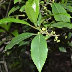 Hedycarya angustifolia (native mulberry) at Meryla State Forest - 18 Sep 2020 by plants