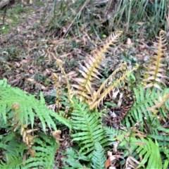 Blechnum cartilagineum (Gristle fern) at Fitzroy Falls, NSW - 18 Sep 2020 by plants