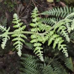 Hypolepis glandulifera (Downy Ground Fern) at - 18 Sep 2020 by plants