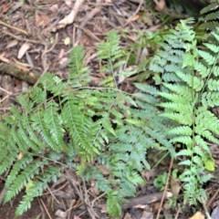 Hypolepis muelleri (Harsh Ground Fern, Swamp Bracken) at Fitzroy Falls, NSW - 18 Sep 2020 by plants