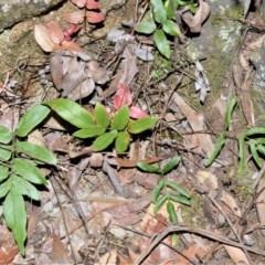 Blechnum ambiguum (Blechnum ambiguum) at - 18 Sep 2020 by plants