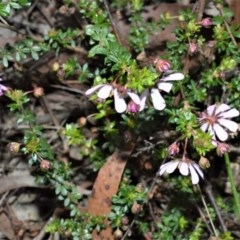 Bauera rubioides (Wiry Bauera) at Meryla State Forest - 18 Sep 2020 by plants