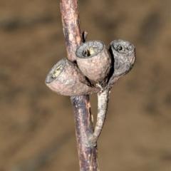 Eucalyptus sieberi (Silvertop ash) at Wingecarribee Local Government Area - 18 Sep 2020 by plants