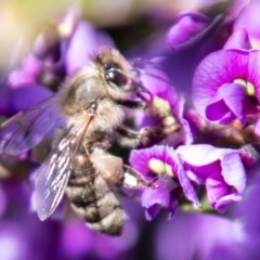 Apis mellifera (European honey bee) at Cooleman Ridge - 16 Sep 2020 by SWishart