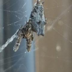 Philoponella congregabilis (Social house spider) at Greenleigh, NSW - 19 Sep 2020 by LyndalT