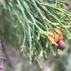 Exocarpos cupressiformis (Cherry Ballart) at Dryandra St Woodland - 18 Sep 2020 by PeterR