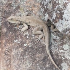 Intellagama lesueurii howittii (Gippsland Water Dragon) at Latham, ACT - 19 Sep 2020 by tpreston