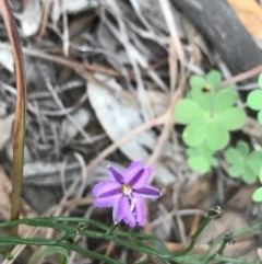 Thysanotus patersonii (Twining fringe lily) at Dryandra St Woodland - 18 Sep 2020 by PeterR